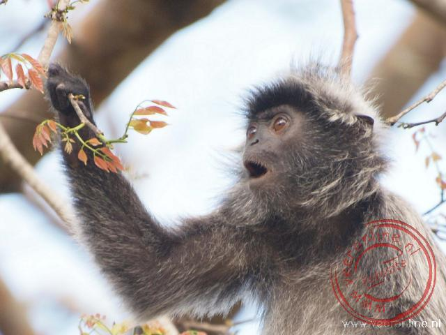 Maleisisch Borneo - Een Silvered Leaf Monkey of Mutslangoer in het Nederlands in Bako