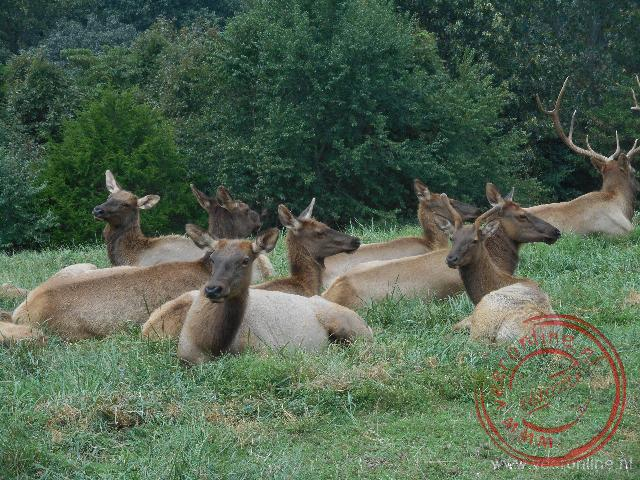 Coast to coast USA - Een groep elks in het nationale park Dogwood Canyon
