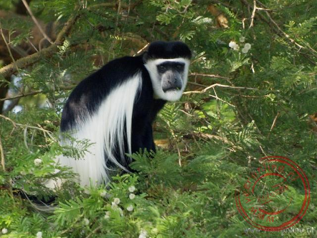 Ontmoeting met de gorilla - Een black and white colobus monkey
