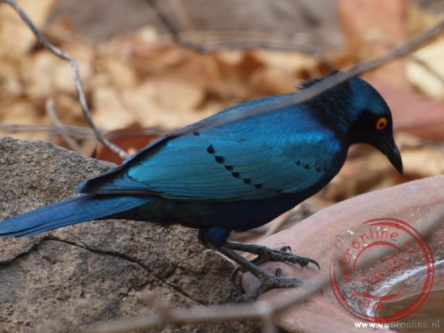 Mozambique, Malawi en Zambia - De greater Blue-eared Glossy-starling